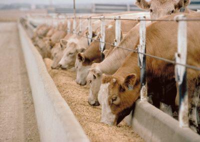 دراسة جدوى مزرعة ماشية